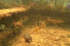 Leavy Sea dragon